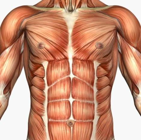 musculature_chest_abs