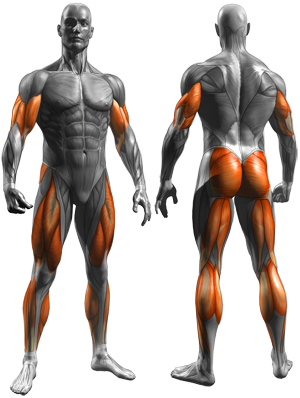 biceps-calves-quads-glutes-hamstrings-triceps
