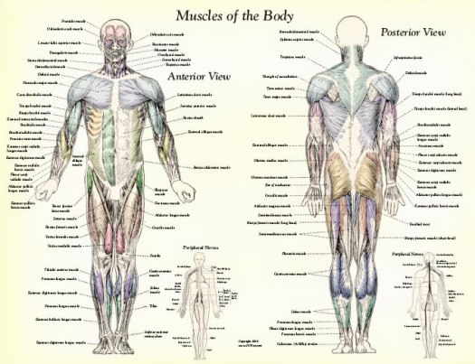 Muscle-Anatomy-Muscles-Body-Labeled